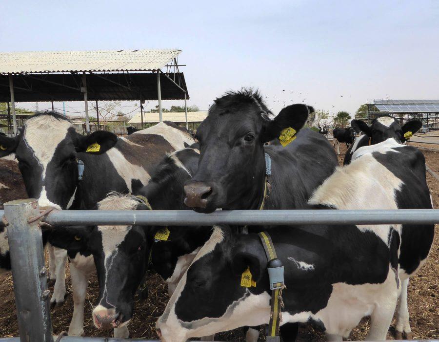 cows samar