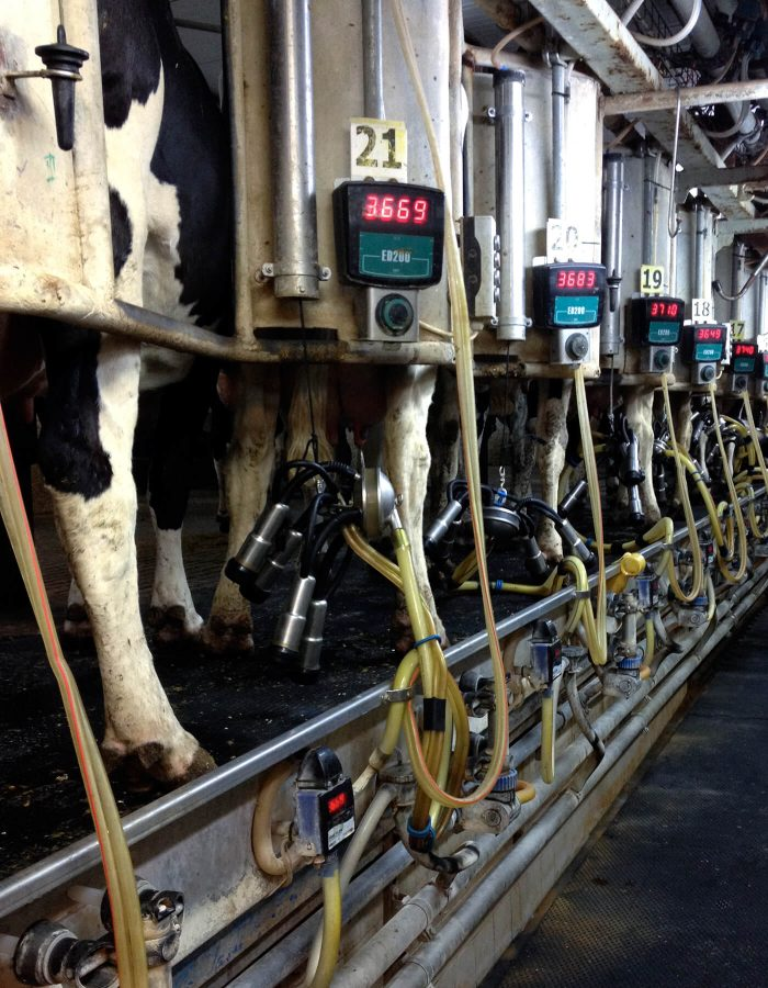 Milking in Samar