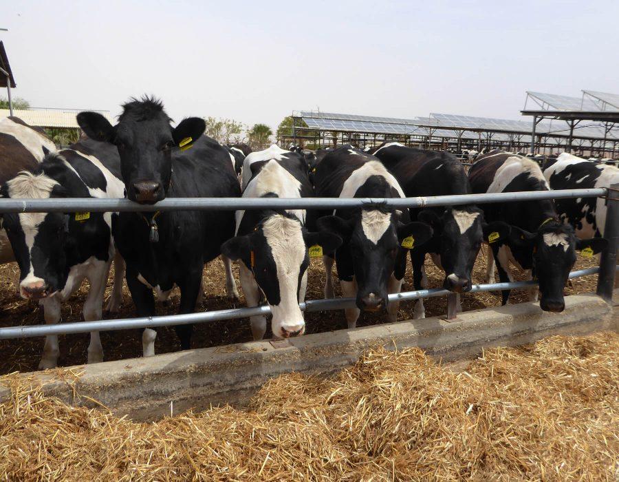 cows in Samar